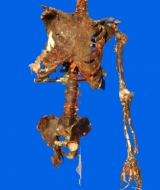 Decayed Skeleton Torso