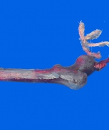 Rubber Human Thigh Bone