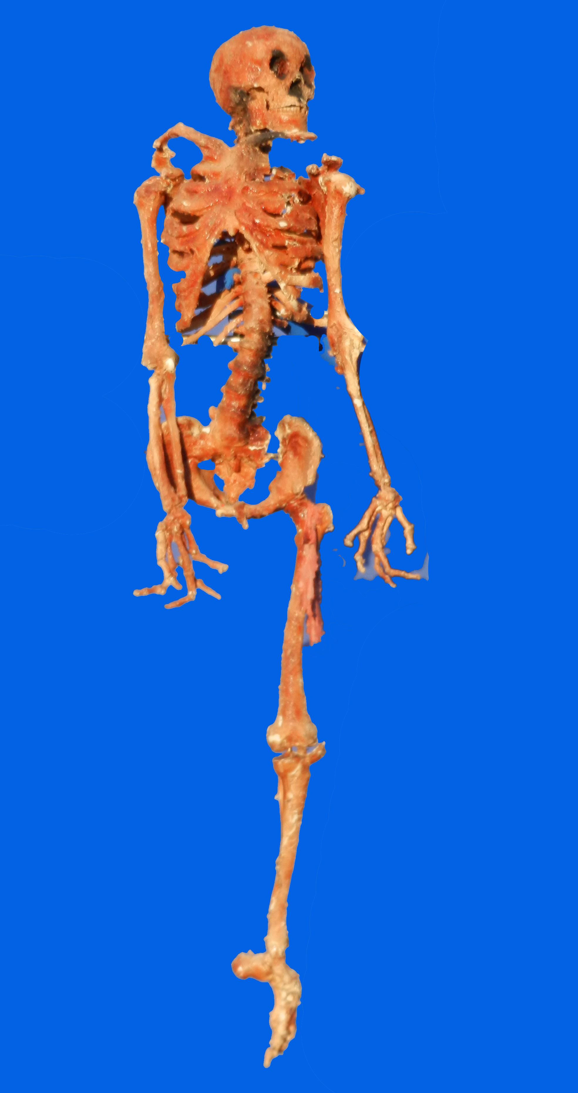 Dried Skeleton