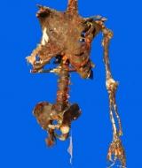 Decayed Skeleton Torso