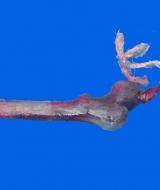Rubber Human Thigh Bone