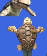 Loggerhead Turtle costumer